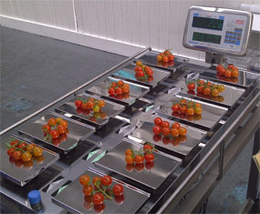 UK Vine Tomato Packers choose Aja Selector Scale for half vine retail weighing solution